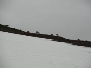 Les rennes!